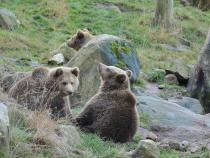 Ursuleți scoşi din bârlog şi aruncaţi în zăpadă. Stadiul anchetei: Animalele nu au fost găsite