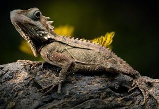 Cea mai mică reptilă din lume. O poți ține pe vârful degetului / Sursă foto: Pixbay