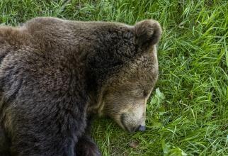 Povestea din spatele salvării ursulețului din munții Făgăraș / Imagine de Jolan Chapin de la Pixabay