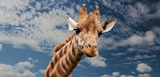 A murit singura girafă care exista în grădinile zoologice din România - Fotografie cu rol ilustrativ
