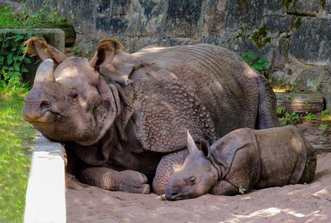 Coarne de rinocer în valoare de peste 3 milioane de euro, confiscate în Africa de Sud