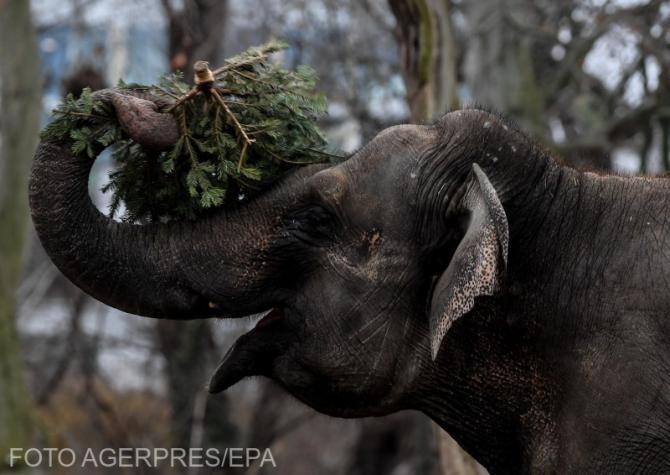 Elefantul femelă nu i-a mai lăsat vreo șansă de supraviețuire angajatului