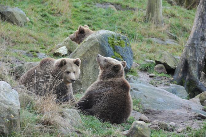 Puii de urs scoși din bârlog ar putea ajunge la Zărnești. Agresorii riscă închisoarea  /  Foto cu caracter ilustrativ: Pixbay