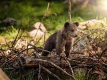 Doi ursuleți orfani în vârstă de 2 luni au ajuns la Sanctuarul de Urși Libearty din Zărnești / Foto cu caracter ilustrativ: Pixabay
