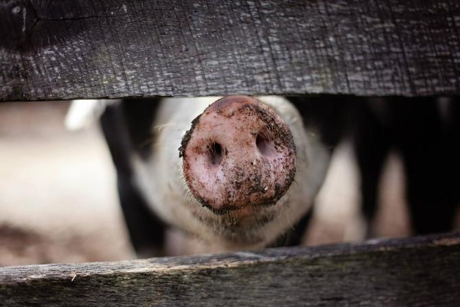 Tir încărcat cu 600 de porci, răsturnat în Pasul Tihuţa. Trafic îngreunat pe DN 17 - foto Pixabay