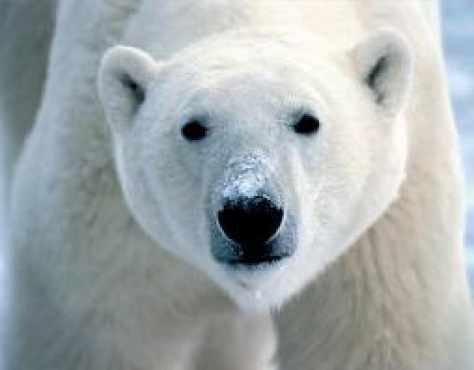 Un bărbat a supravieţuit atacului unui urs polar. Animalul a fost ulterior împuşcat