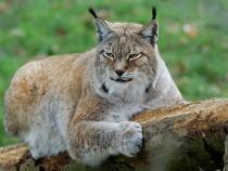 Imagini comparative cu mai multe animale sălbatice. Fotograf: Vă puteți da seama cât de mare e un râs / Foto cu caracter ilustrativ: Pixabay