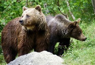 Sportivul dispărut într-o zonă plină de urşi din Azuga a fost găsit mort
