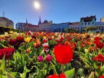Clujul, 'capitala lalelelor'. Explozie de flori și de culoare pe străzi / Foto DC News