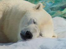 Urșii hibrizi Pizzly ar putea deveni tot mai comuni din cauza schimbărilor climatice / Foto cu caracter ilustrativ: Pixabay