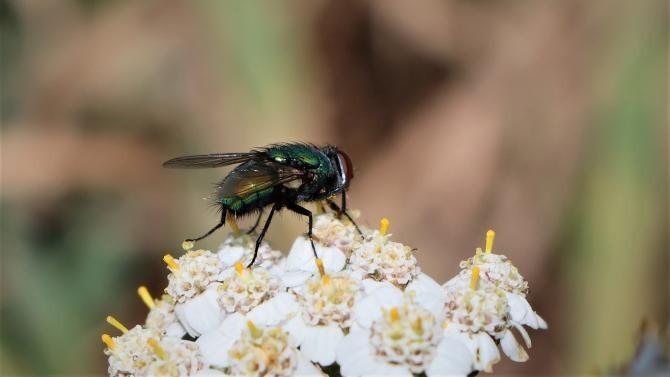 Floarea care degajă mirosul insectelor în descompunere pentru a atrage muștele de sicriu și a poleniza  /  Foto cu caracter ilustrativ: Pixabay