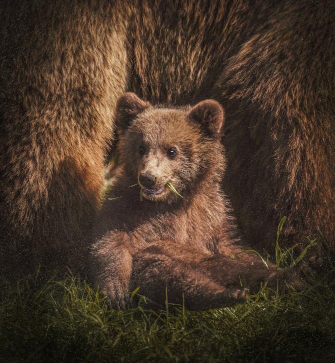 Pui de urs Montreal / Foto: Unsplash