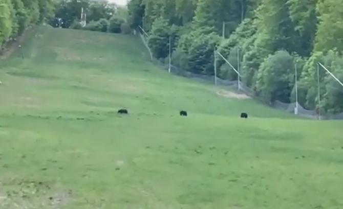 """Patru urși au ieșit """"la plimbare"""" pe o pârtie din Covasna / Sursă foto: Captură Youtube"""