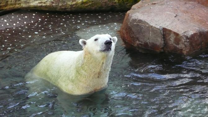 Urși polari înfometați au fost filmați în Siberia în timp ce aleargă agățați de o mașină de gunoi  / Foto cu caracter ilustrativ: Pixabay