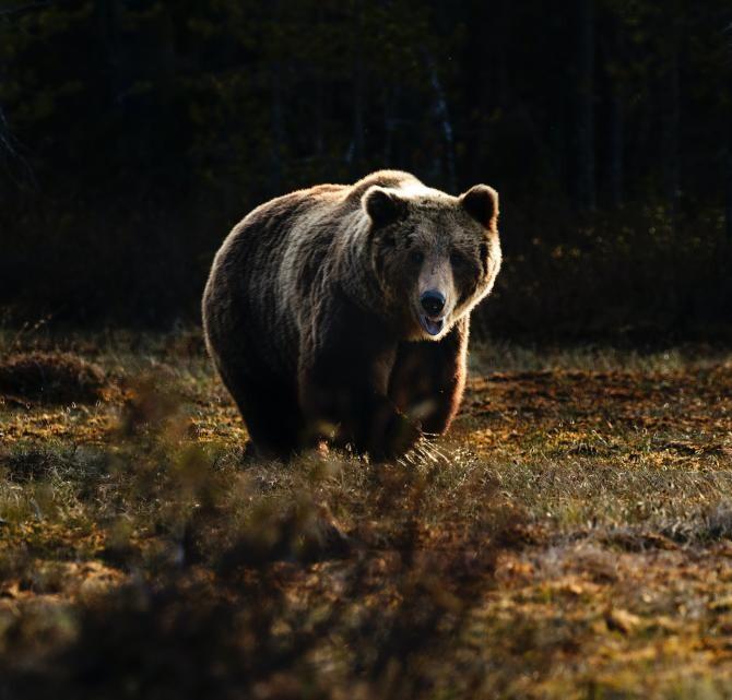 Turmă de oi atacată de urși / Foto: Unsplash