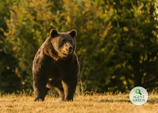 foto Facebook Agent Green: El a fost regele Arthur, cel mai mare dintre urșii din România