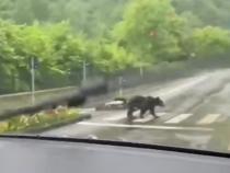 În Sinaia, urșii traversează regulamentar pe trecerea de pietoni   /   Sursă foto: Captură Youtube