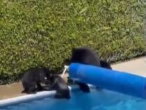 Momentul în care o ursoaică și puii săi se răcoresc într-o pisicină din Canada / Foto: Captură video BFMTV