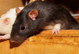 ANSVSA, amendă pentru supermarketul unde au fost surprinse imagini cu şobolani. Magazinul, închis temporar