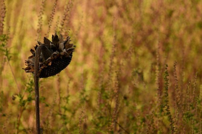 Ambrozia, cea mai periculoasă plantă pentru sănătate, eliberează până la 8 miliarde de grăunțe de polen  /  Foto cu caracter ilustrativ: Pixabay