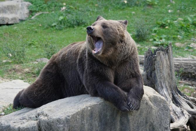Nou atac al urșilor, în Harghita / Foto: Pixabay