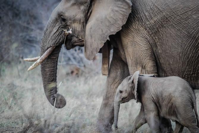 Elefanți din India, testați de coronavirus după moartea unei leoaice testată pozitiv  /  Foto cu caracter ilustrativ: Pixabay
