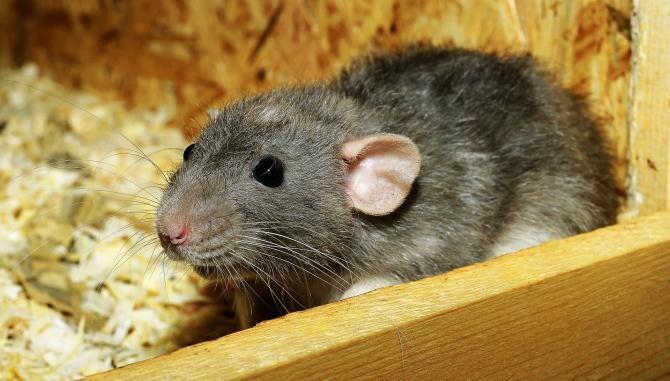 Primul caz uman de hantavirus, transmis de la rozătoare, confirmat în Michigan   /  Foto cu caracter ilustrativ: Pixabay