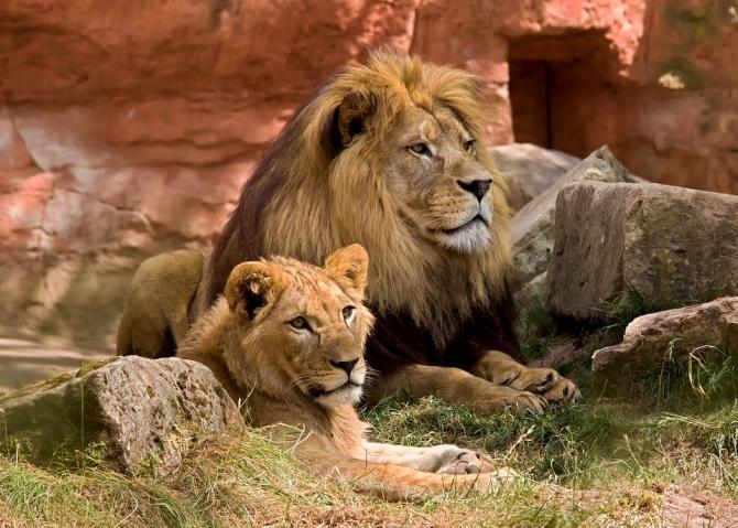 O leoaică a murit de COVID-19 într-un ZOO din India / Foto: Pixabay