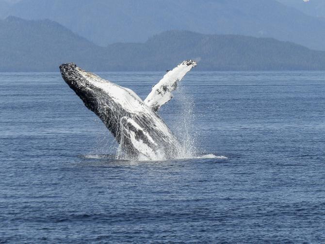 Populație secretă de balene, descoperită întâmplător de detectoarele de bombe nucleare  /  Foto cu caracter ilustrativ: Pixabay
