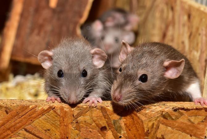 Șobolanii fac prăpăd și în India. Aceștia au ros banii dintr-un bancomat  /  Foto cu caracter ilustrativ: Pixabay