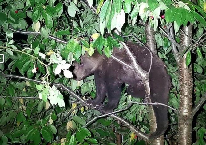 Ursul a dat iama în cireșul unei femei. Jandarmii au venit, au filmat animalul, după care au plecat  /  Sursă foto: Facebook Claudiu Loghin