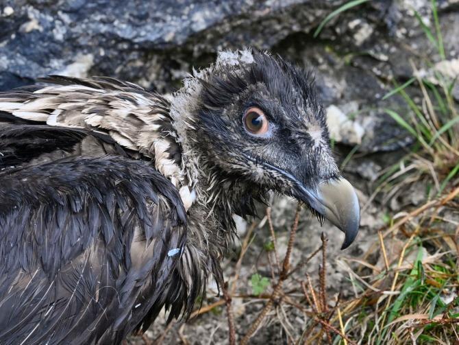 """Doi """"vulturi cu barbă"""", eliberați în sălbăticie în Germania / Foto: Facebook Nationalpark Berchtesgaden"""