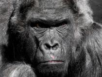 Primul război între cimpanzei și gorile observat vreodată. Cum au decurs luptele  /  Foto cu caracter ilustrativ: Pixabay