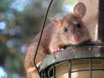 Un tânăr a fost mușcat de șobolan în centrul Capitalei  /  Foto cu caracter ilustrativ: Pixabay