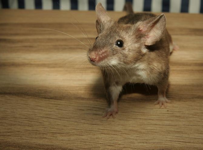 Un șoarece a fost filmat într-o pizzerie din Galați. Se plimba nestingherit printre rafturi  / Foto: Pixabay