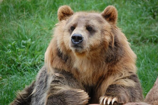 FPAM a depus un memoriu către Avocatul Poporului privind OUG care permite uciderea urșilor în intravilan. Fotografie ilustrativă Pixabay
