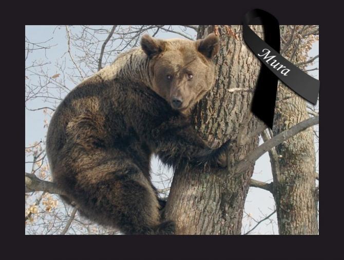 Ursoaica Mura a murit / Foto: Facebook AMP Libearty - Bear Sanctuary
