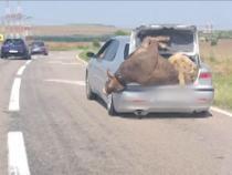 Imagine bizară pe DN72. Un șofer a plecat la drum cu o vacă și un berbec în portbagajul mașinii  /  Sursă foto: Observatornews