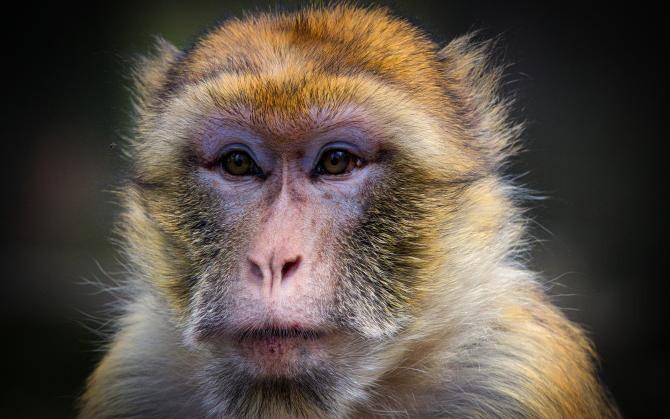 O femelă de macac a devenit liderul alpha al unui grup de 677 de maimuțe din Japonia  /  Foto cu caracter ilustrativ: Pixabay