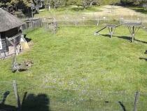 O capră și un cocoș au salvat o găină din ghearele unui uliu   /   Sursă foto: Captură YouTube Bruno Karett