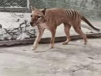 Primele imagini color cu tigrul tasmanian, specie dispărută în urmă cu 85 de ani / Foto: Captură video Youtube