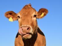 Vacile, învăţate să meargă la toaletă pentru a reduce emisiile de gaze cu efect de seră