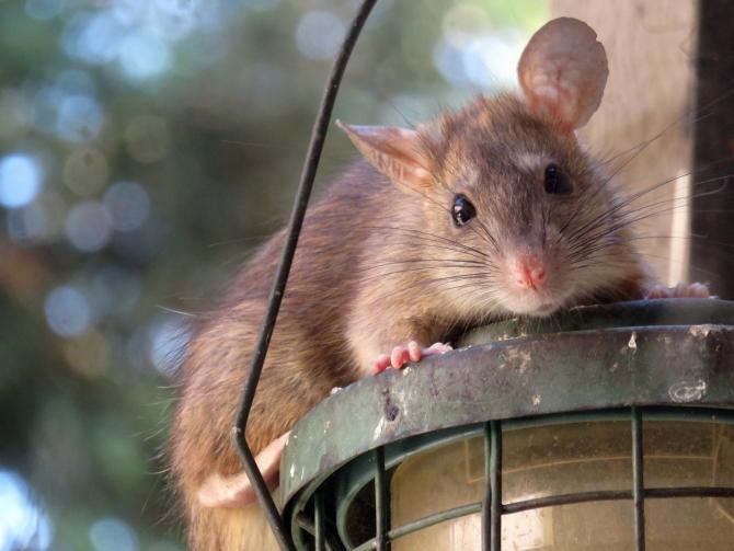 O asociație cere protejarea șobolanilor din Paris: Rozătoarele suferă!   /   Foto cu caracter ilustrativ: Pixabay