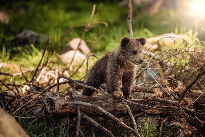 """Imagini amuzante cu un URS dintr-o pădure din Parcul Național Piatra Craiului. """"Adevăratul BALOO"""" / Foto: Pixabay"""