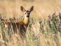 Imagini rare cu un pui de CĂPRIOARĂ, surprinse în Parcul Natural Comana / Foto: Pixabay
