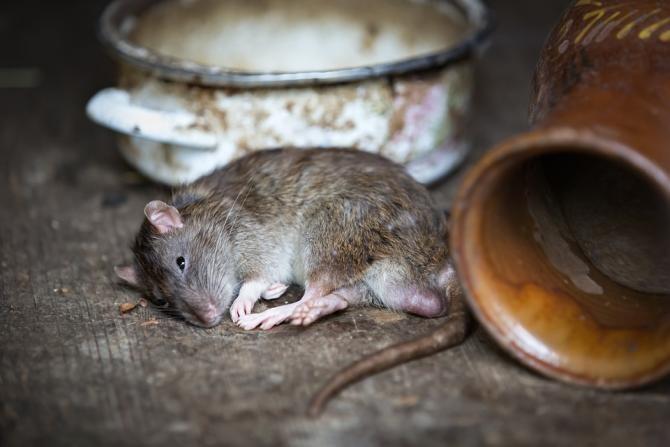 Un șobolan, filmat în timp ce mișuna printre paturile pacienților de la Institutul de Psihiatrie Socola / Foto: Pixabay
